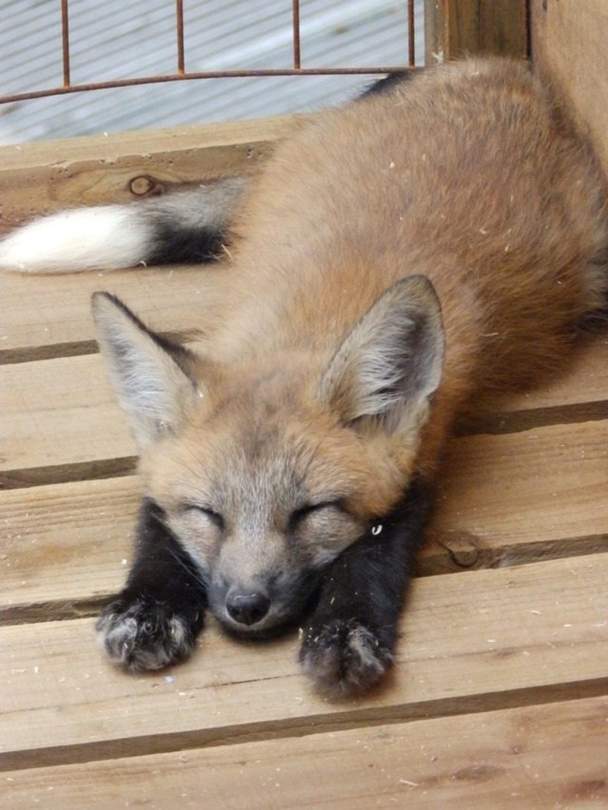 Hình ảnh con cáo đẹp
