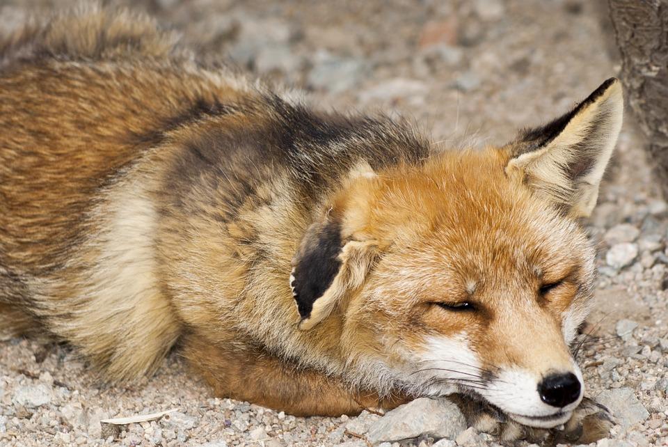 Hình ảnh con cáo già