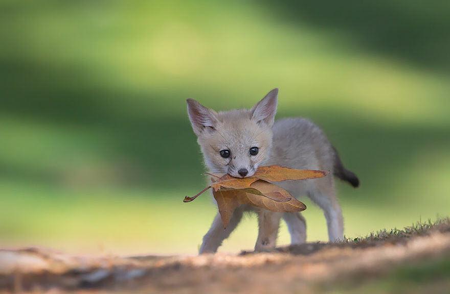 Hình ảnh con cáo nhỏ dễ thương