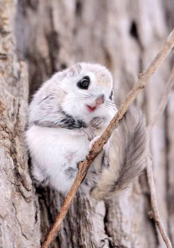 Hình ảnh đáng yêu loài sóc bay Nhật Bản