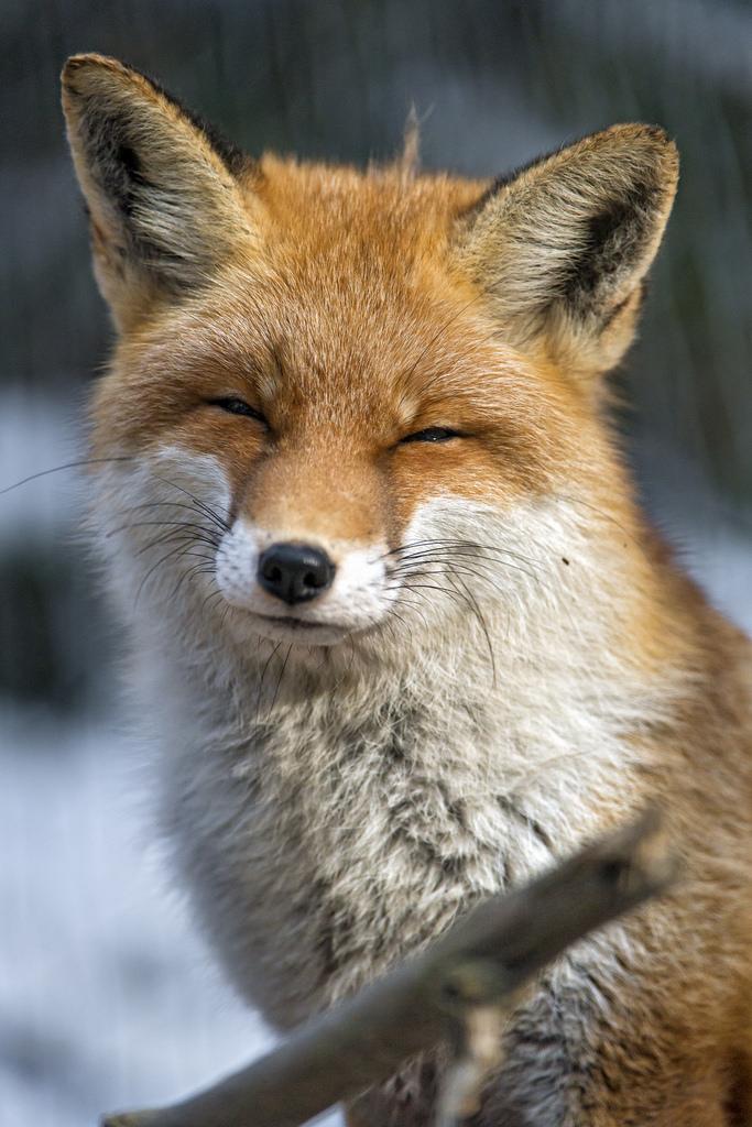 Hình ảnh đẹp con cáo dễ thương