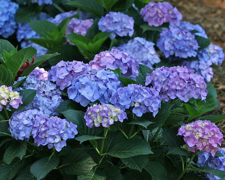 Hình ảnh đẹp loài hoa Cẩm Tú Cầu