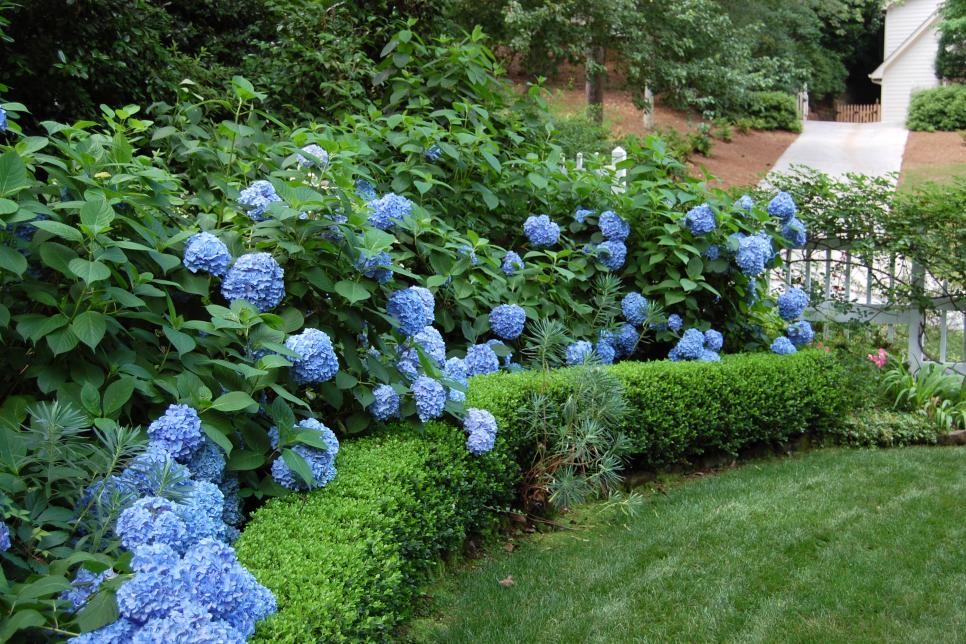 Hình ảnh đẹp vườn hoa Cẩm Tú Cầu