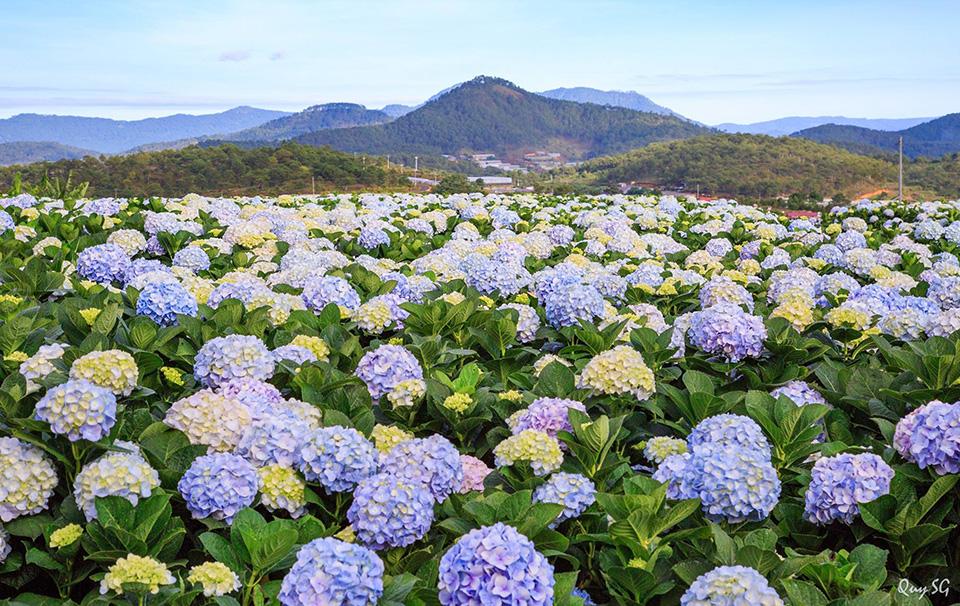 Hình ảnh đồi hoa Cẩm Tú Cầu tuyệt đẹp