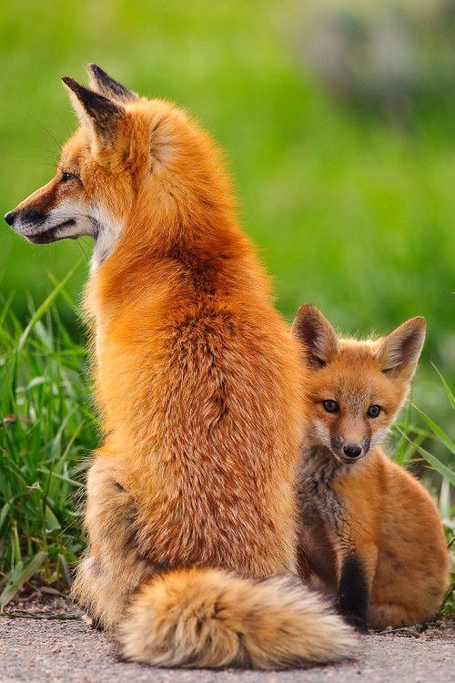 Hình ảnh hai con cáo đáng yêu