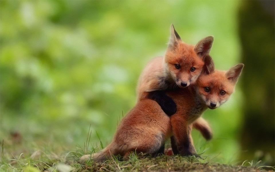 Hình ảnh hai con cáo nô đùa