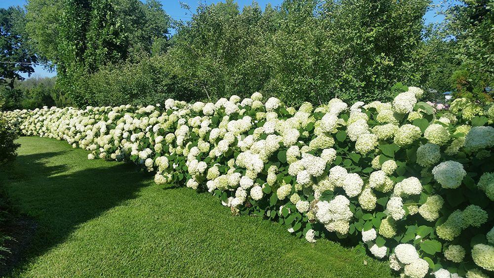 Hình ảnh hoa Cẩm Tú Cầu cực đẹp