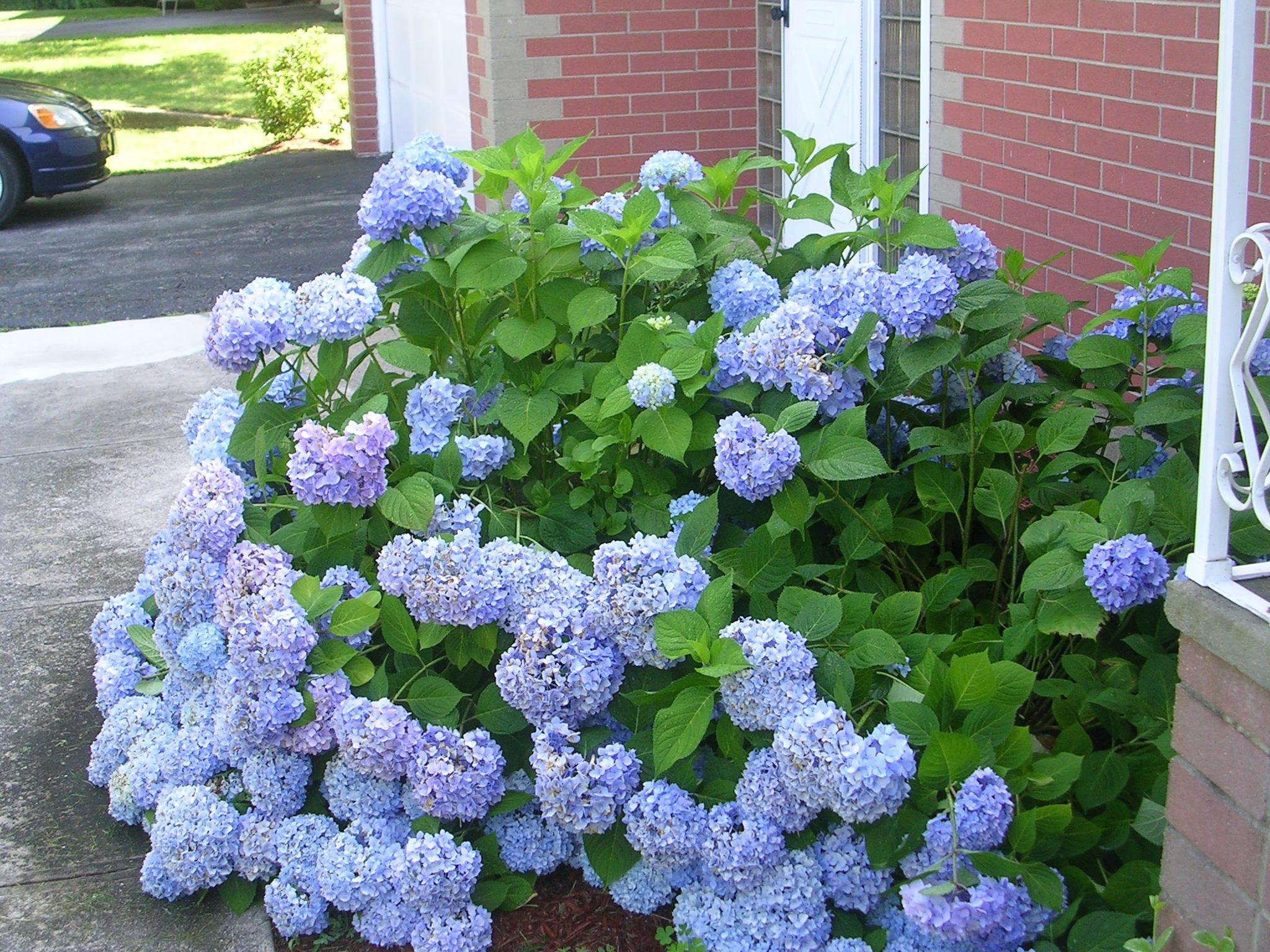 Hình ảnh hoa Cẩm Tú Cầu đẹp