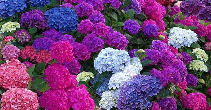 Hình ảnh hoa Cẩm Tú Cầu nhiều màu sắc