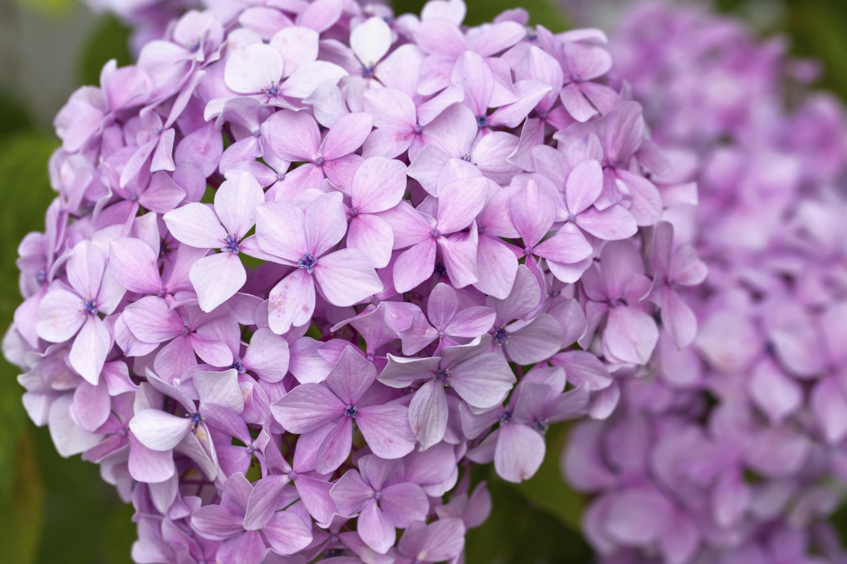 Hình ảnh hoa Cẩm Tú Cầu tuyệt đẹp