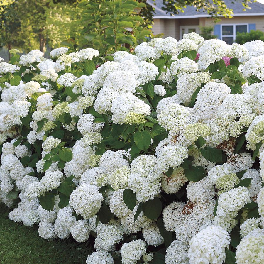 Hình ảnh hoa Cẩm Tú Cầu