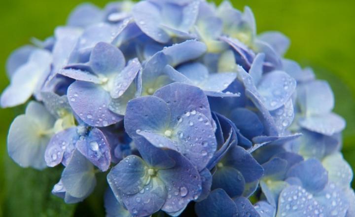 Hình ảnh hoa Cẩm Tú cực đẹp