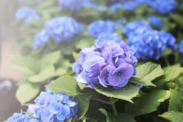 Hình ảnh hoa Cẩm Tú đẹp