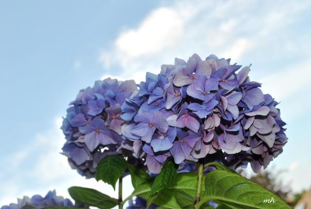 Hình ảnh nghệ thuật hoa Cẩm Tú Cầu đẹp