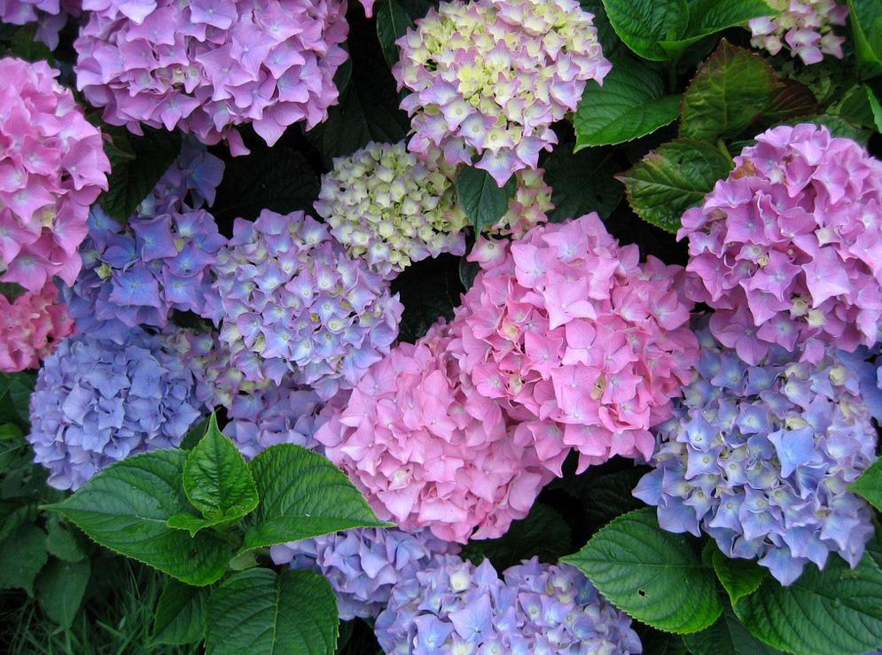 Hình ảnh những bông hoa Cẩm Tú Cầu cực đẹp