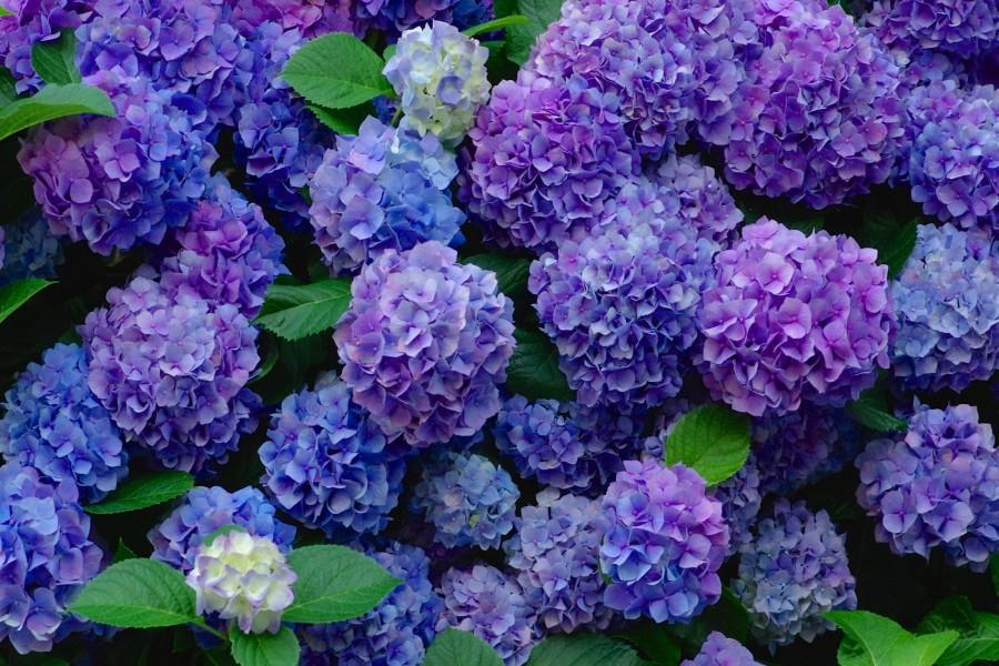 Hình ảnh những bông hoa Cẩm Tú Cầu đẹp
