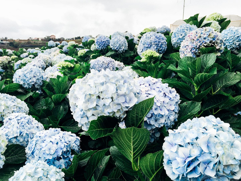 Hình ảnh vườn hoa Cẩm Tú Cầu đẹp nhất