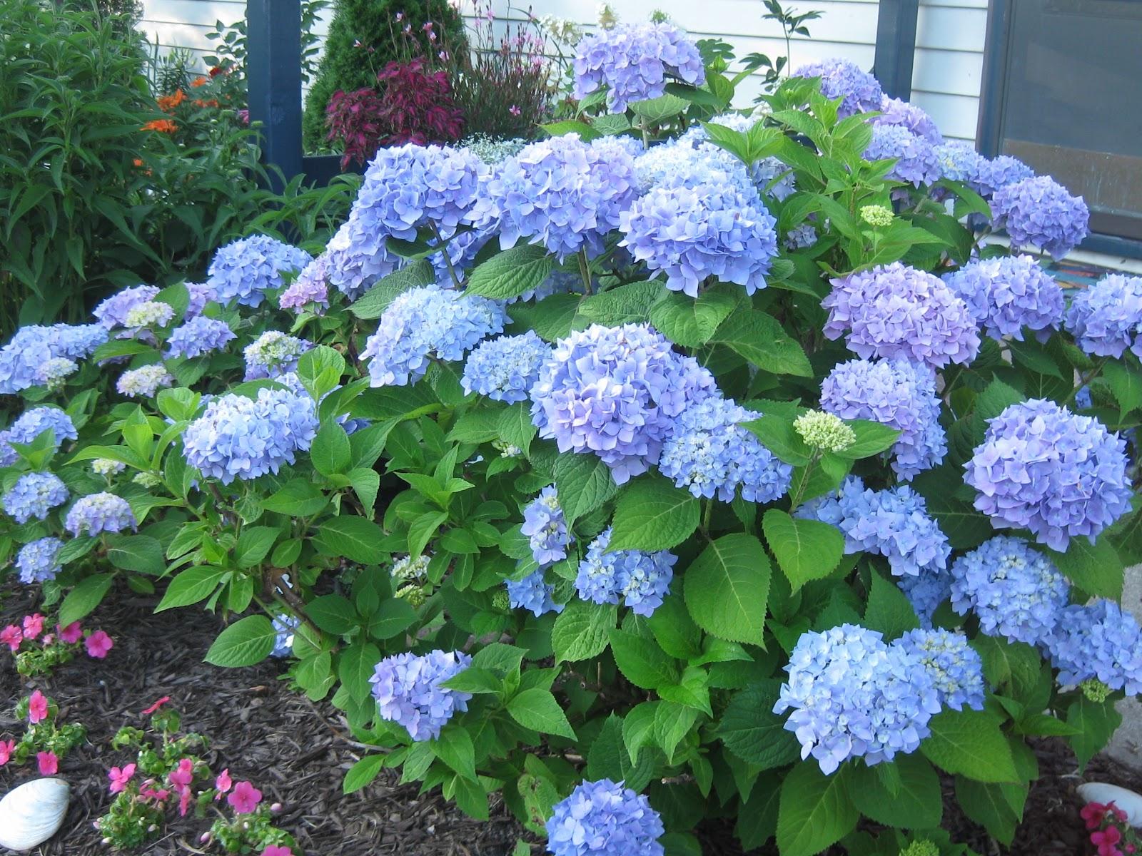 Hình ảnh vườn hoa Cẩm Tú Cầu xanh đẹp