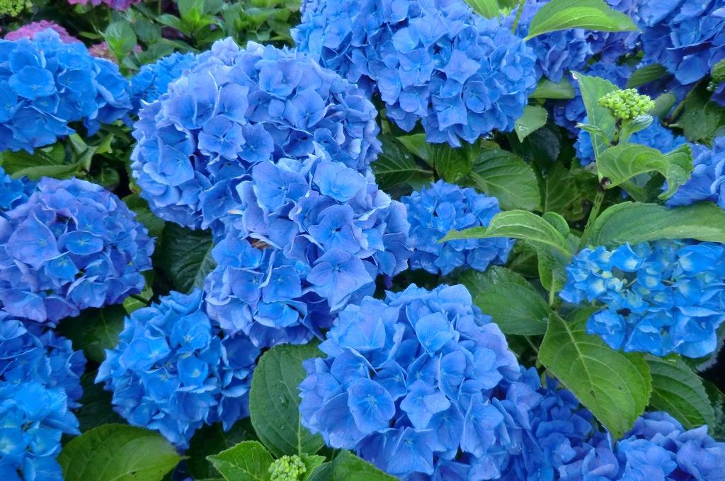 Hình ảnh vườn hoa Cẩm Tú Cầu