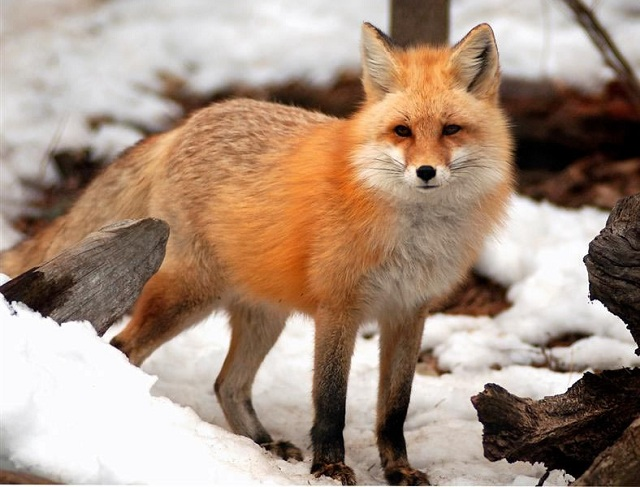 Hình con cáo đáng yêu