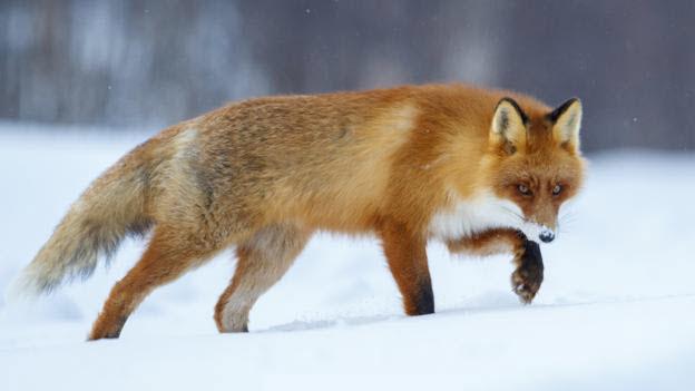 Hình con cáo dễ thương
