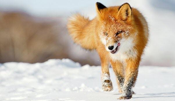 Hình con cáo đẹp