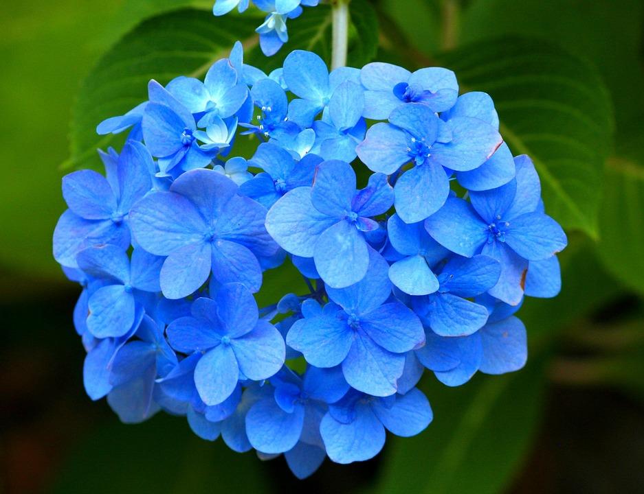 Hình đẹp bông hoa Cẩm Tú Cầu