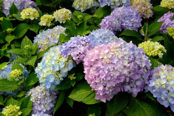 Hình hoa Cẩm Tú Cầu đẹp
