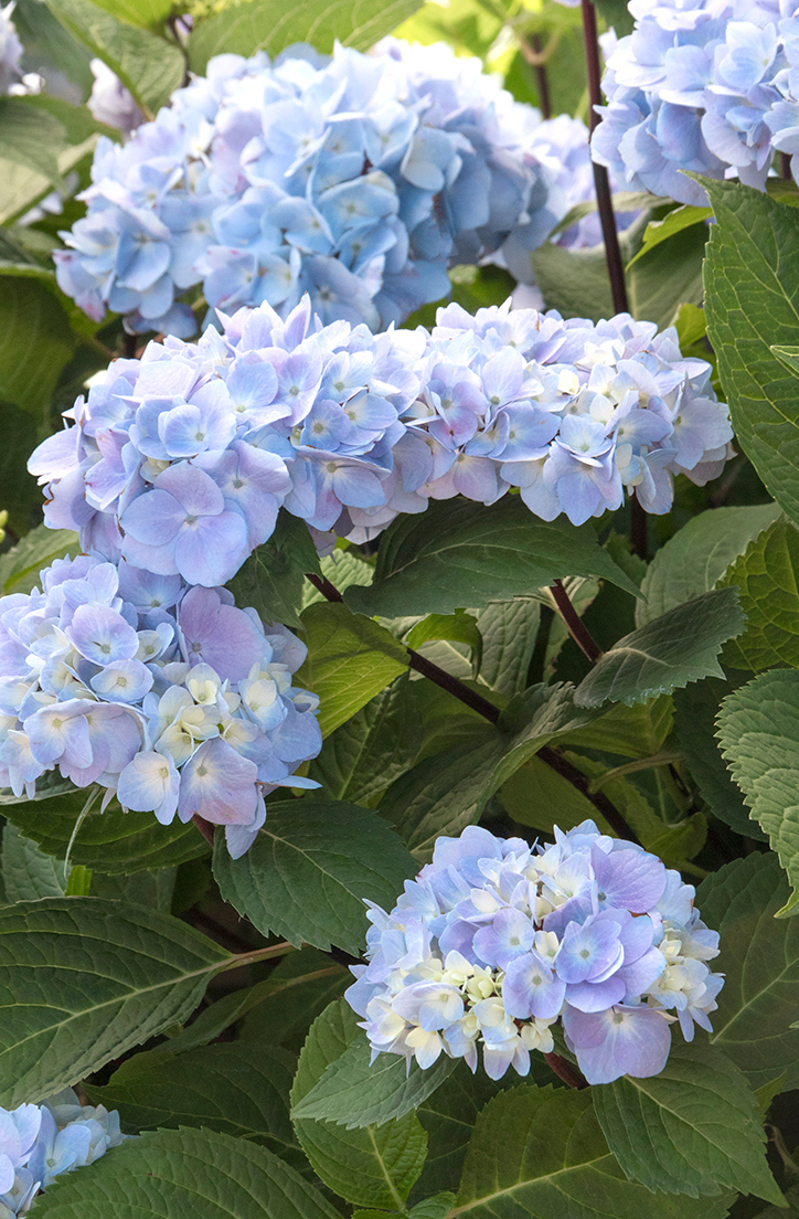 Hình hoa Cẩm Tú Cầu
