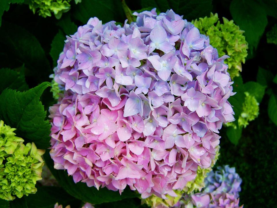 Hình vườn hoa Cẩm Tú Cầu đẹp