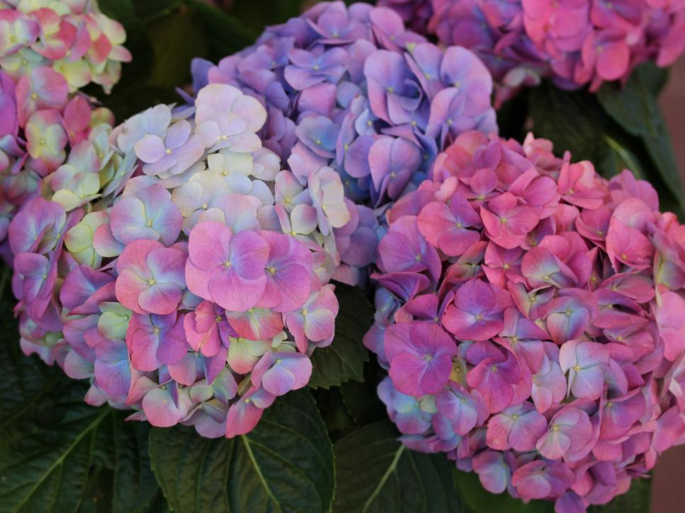 Hoa Cẩm Tú Cầu đa màu sắc