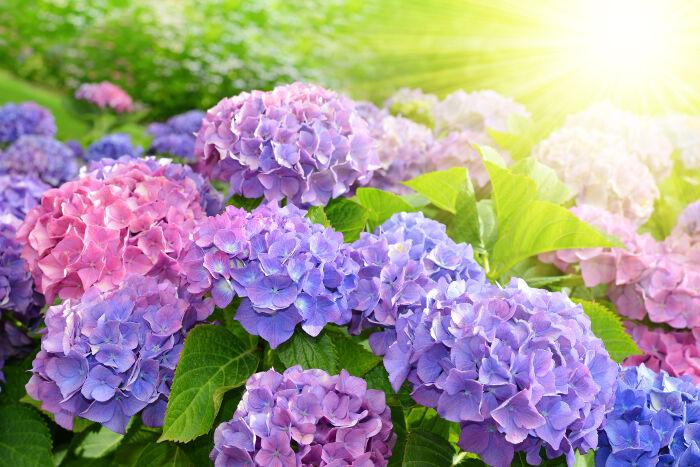Hoa Cẩm Tú Cầu dưới ánh nắng đẹp