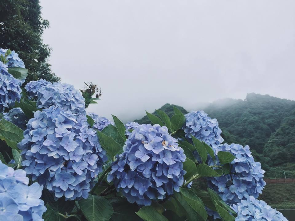 Hoa Cẩm Tú Cầu dưới sương mờ ảo