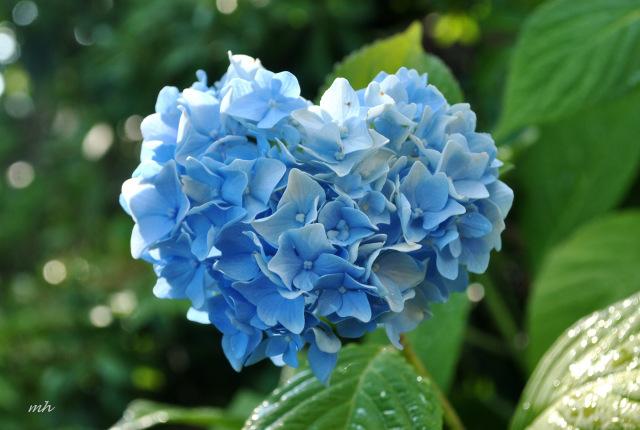 Hoa Cẩm Tú Cầu hình trái tim đẹp
