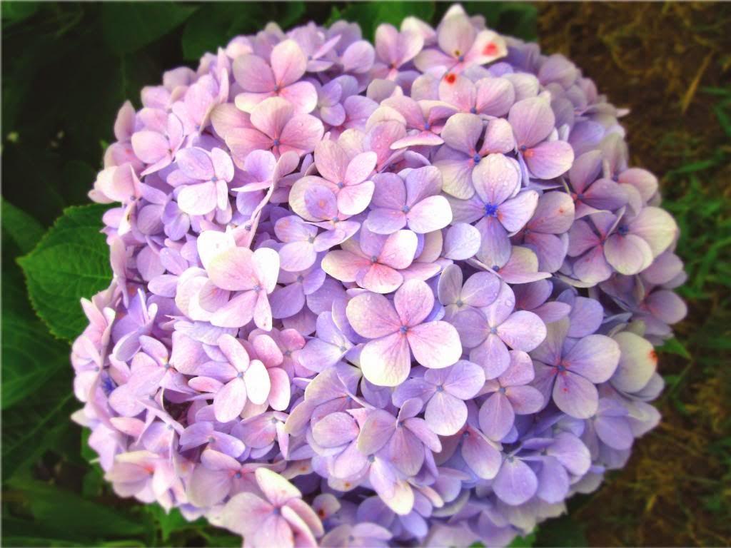 Hoa Cẩm Tú Cầu hồng đẹp