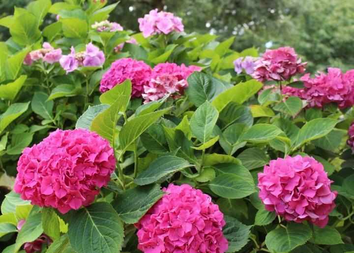 Hoa Cẩm Tú Cầu màu hồng đẹp rực rỡ
