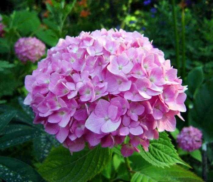 Hoa Cẩm Tú Cầu màu hồng đẹp