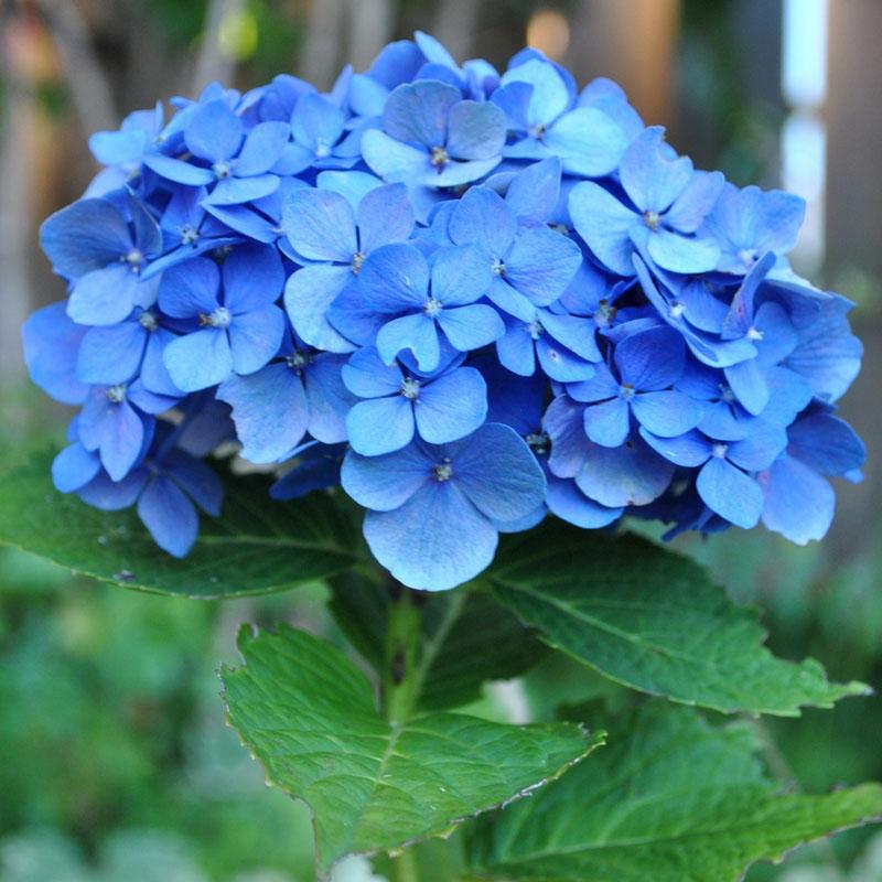 Hoa Cẩm Tú Cầu màu xanh cực đẹp