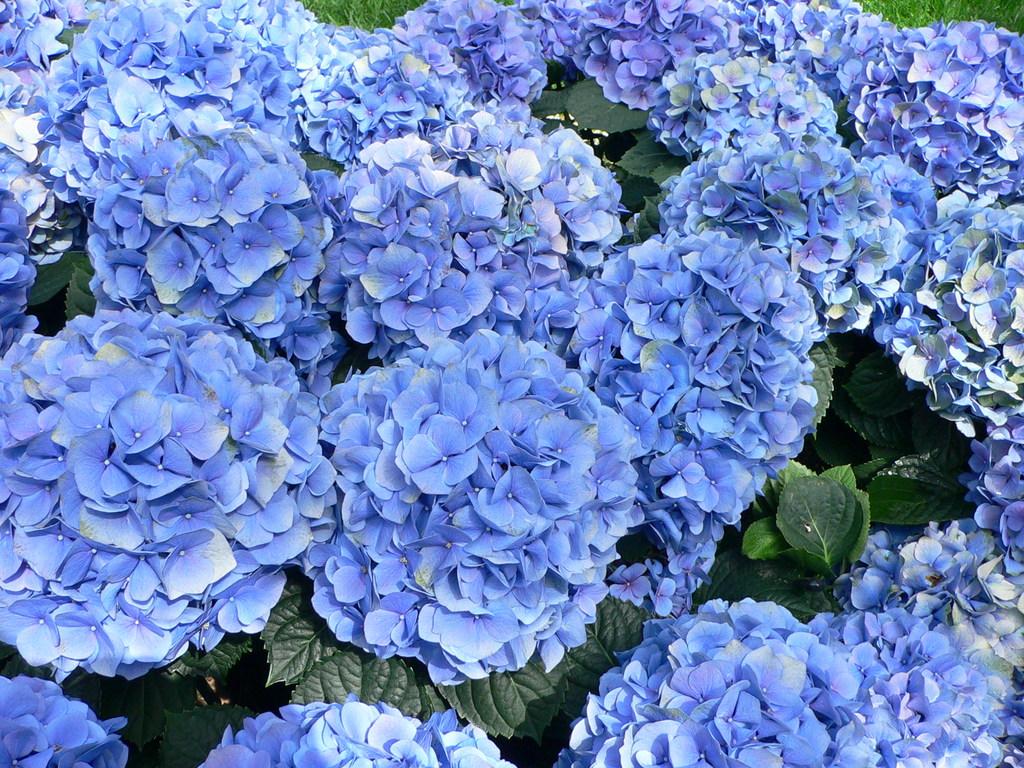 Hoa Cẩm Tú Cầu ngập tràn sắc xanh
