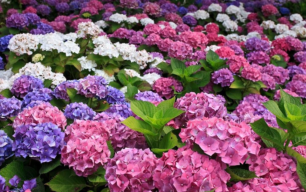 Hoa Cẩm Tú Cầu nhiều màu sắc đẹp