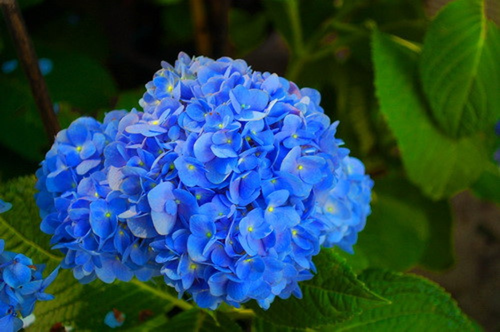 Hoa Cẩm Tú Cầu xanh đẹp