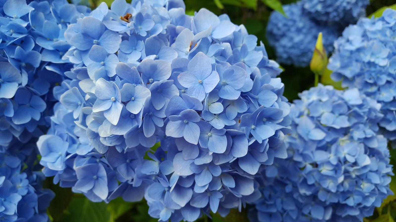 Những bông hoa Cẩm Tú Cầu đẹp nhất