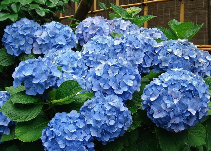 Những bông hoa Cẩm Tú Cầu màu xanh đẹp