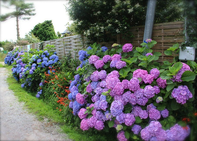 Những bông hoa Cẩm Tú Cầu nhiều màu sắc đẹp