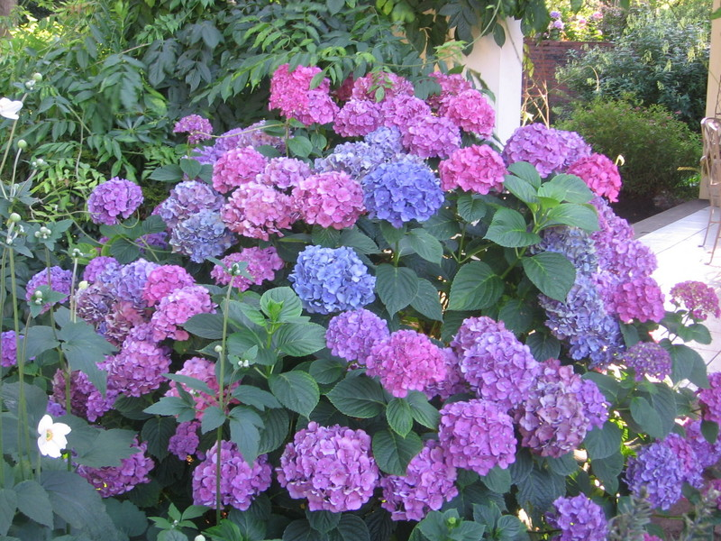 Tổng hợp hình ảnh hoa Cẩm Tú Cầu cực đẹp