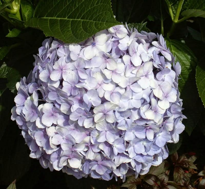 Tổng hợp hình ảnh hoa Cẩm Tú Cầu đẹp