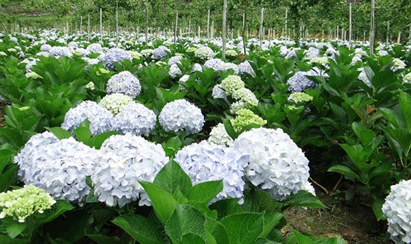 Vườn hoa Cẩm Tú Cầu đẹp nhất