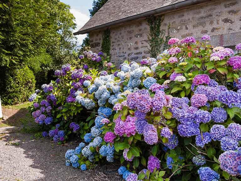 Vườn hoa Cẩm Tú Cầu nhiều màu sắc