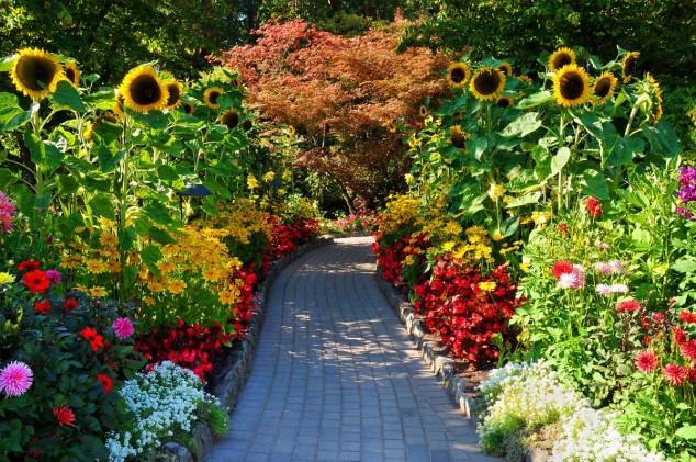 Vườn hoa hướng dương đẹp