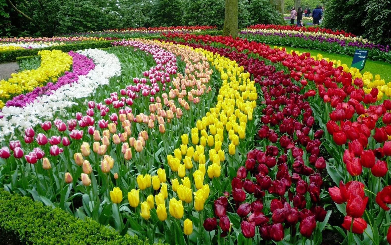 Vườn hoa tulip đẹp